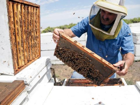 Un apicultor de California inspecciona su colmena de miel.