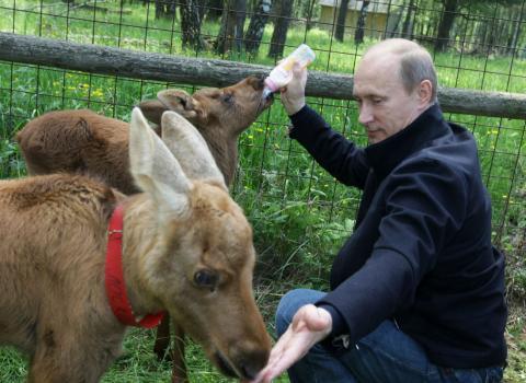 Vladimir Putin da un biberón a dos crías de alce.