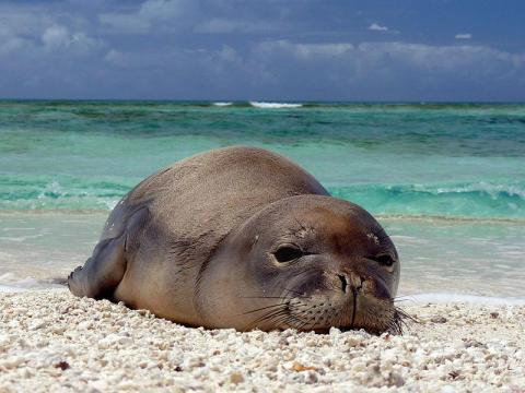 About 17% of all the US's threatened and endangered species are vulnerable to rising sea levels and storm surges, including the Hawaiian monk seal and the loggerhead sea turtle.