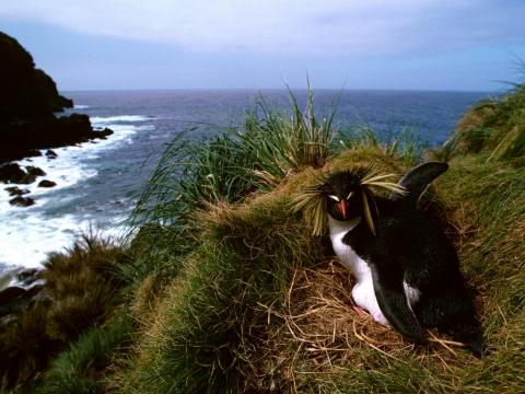 Animal life includes rare bird breeds and rockhopper penguins.
