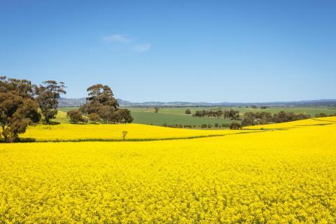 Los cultivos están principalmente en la región central y meridional de Nueva Gales del Sur.