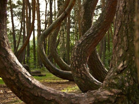 El bosque torcido en Polonia.