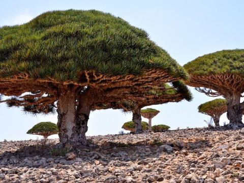 Dragon's Blood Forest, Socotra, Yemen