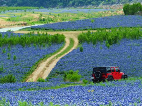 En primavera los locales pueden conducir rodeados de campos de flores bluebonnet.