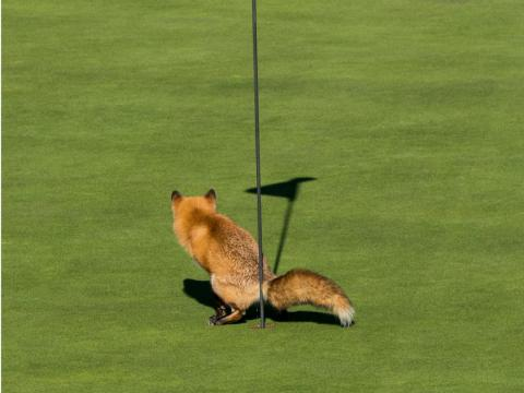 This fox has perfect aim.