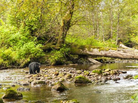 Great Bear Rainforest is part of the world's largest temperate rainforest.