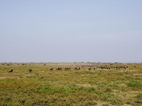 Ví de cerca leones, jirafas y elefantes y fue genial. Pero, no fue nada comparado con presenciar la Gran Migración de ñus. 1,5 millones de ñus atravesaron las praderas de Tanzania para dar a luz. El suelo tembló mientras pasaban a nuestro lado.