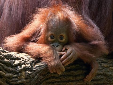 Bornean orangutans are one of the world's top 10 endangered species.