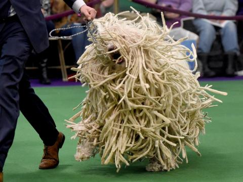 Is it a dog or a mop?