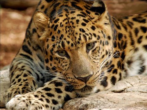 The Amur leopard is critically endangered.