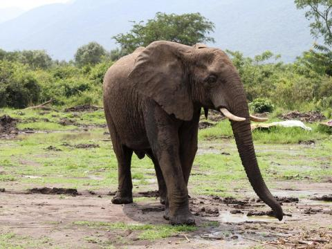 African elephants like this one are frequent victims of poaching and are vulnerable to extinction.