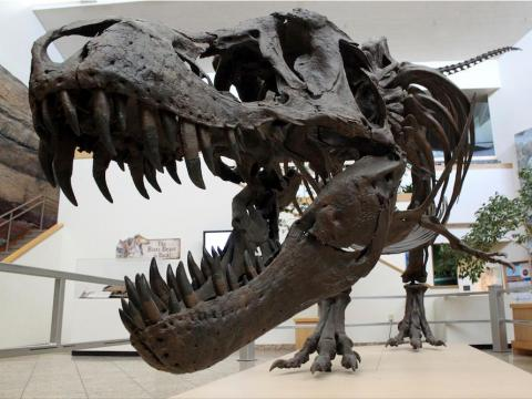 One of the biggest differences between the museum's depiction of T. rex and the images in popular culture is that the real animal appears to be much svelter.