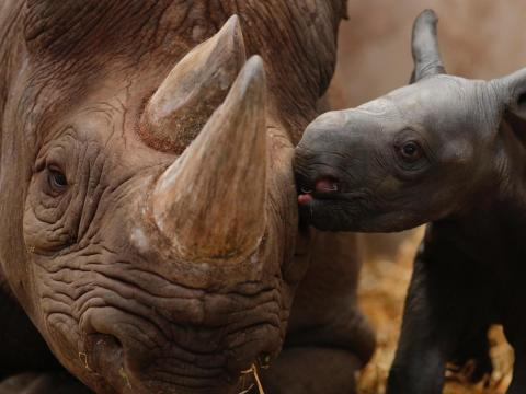 Ema Elsa, a 9-year-old Black Rhino, is nuzzled by her newborn calf in their enclosure at Chester Zoo in Chester, northern England, October 5, 2012.