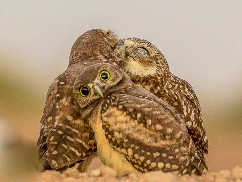 Owls also get grossed out by their friends' PDA.