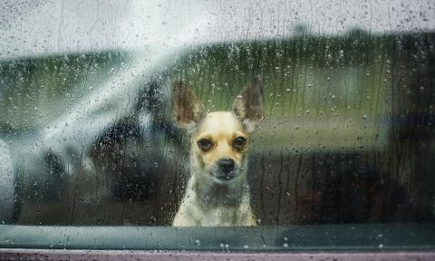 Un perro chihuahua observa la lluvia desde un coche