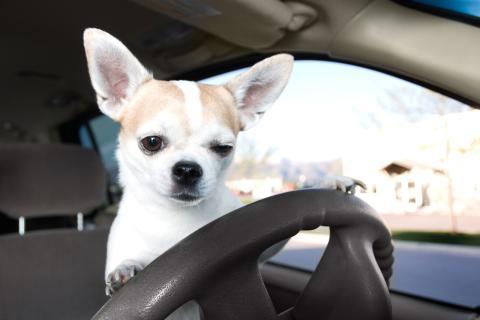 Un chihuahua agarra el volante de un coche