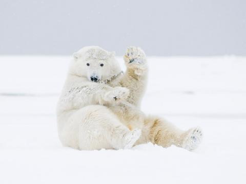 This polar bear just wants to say hello.