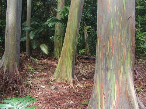 Rainbow Eucalyptus Forest, Hawaii, United States
