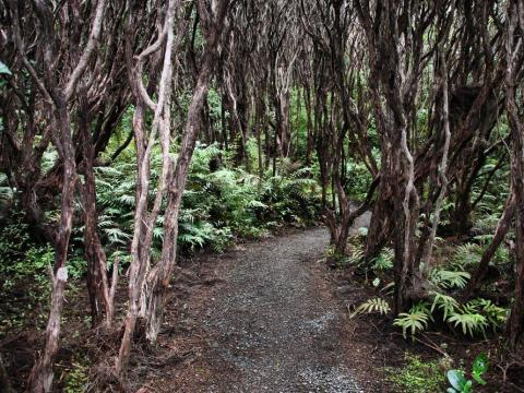 Rātā Forest, Auckland Islands, New Zealand