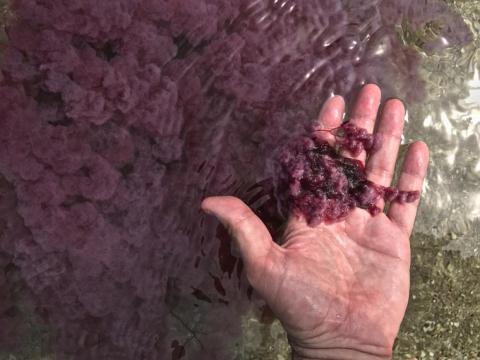 Un viajero levanta una planta de Macarenia clavigera del río en julio de 2017.