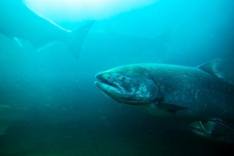 Un salmón de río en su hábitat