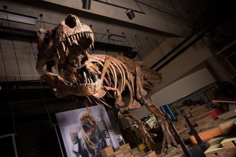 Scotty, el T.rex más grande del mundo.
