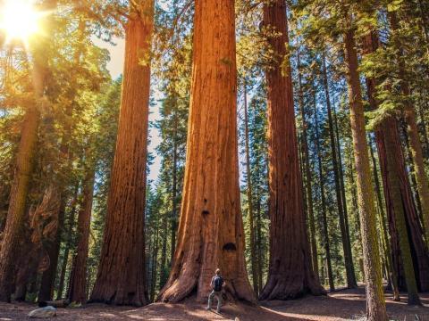 Las sequoias son algunos de los árboles vivos más grandes del mundo.