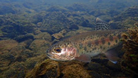 The Goose Lake redband trout is endemic to tributaries in northeastern California and southeastern Oregon.