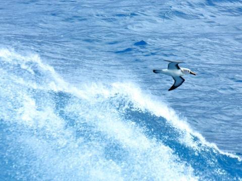 La foto muestra el albatros de nariz amarilla.