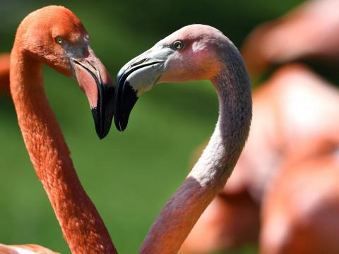 These two flamingos combine to make a heart.