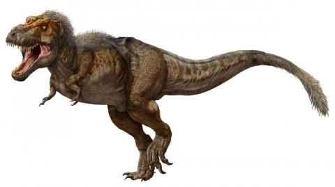 A full-grown Tyrannosaurus rex stood about 12 to 13 feet high at the hip, and was about 40 to 43 feet long.