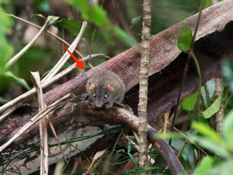 The Bramble Cay melomys is the first species to go extinct because of human-driven climate change.