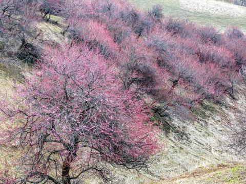 Yili Apricot Valley, China