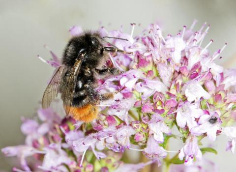 Bombus ruderarius, or the Red-shanked Carder Bee, was formerly a widespread bumblebee species found in much of England and Wales, and parts of Scotland. But the species declined by 42% between 1980 and 2013.
