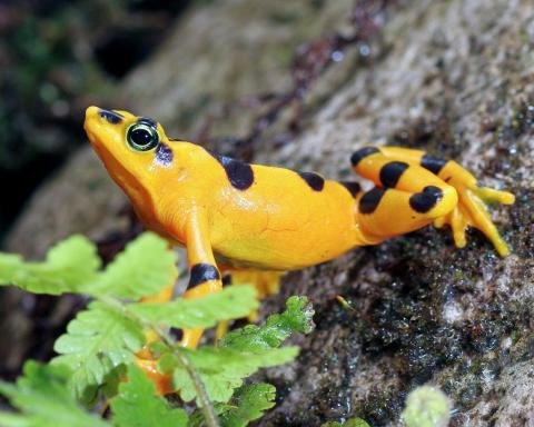 A Panamanian Golden Frog outside El Valle, Panama. Most Atelopus frogs experienced a 90% decline or complete extinction from the chytrid fungus.