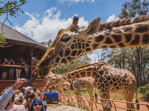 Feeding the giraffes was a blast. As one of the caretakers explained, giraffes spend sixteen to twenty hours per day eating — and they consume as much as 75 pounds of food. You don't have to be worried about how many pellets you