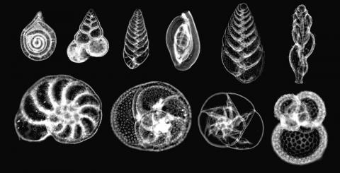 A photomicrograph showing 10 species of foraminifera, a type of plankton.