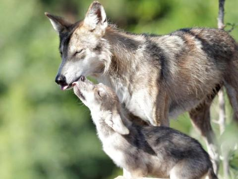 About 110 endangered Mexican gray wolves remain in the wild today.