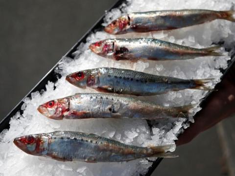 Un hombre sostiene una bandeja de sardinas en Costa Mesa.