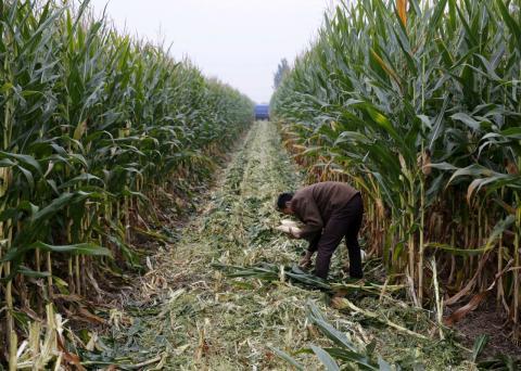 Un agricultor recoge maíz en un campo de China