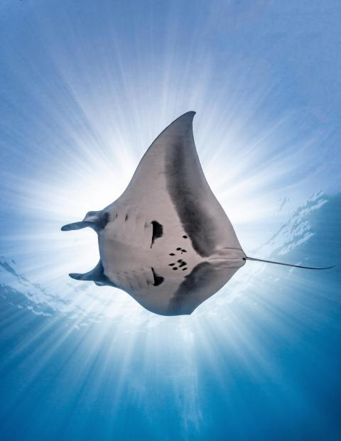Australian photographer Nick Polanszky captured this manta ray as it swam through the Sea of Cortés near Mexico.