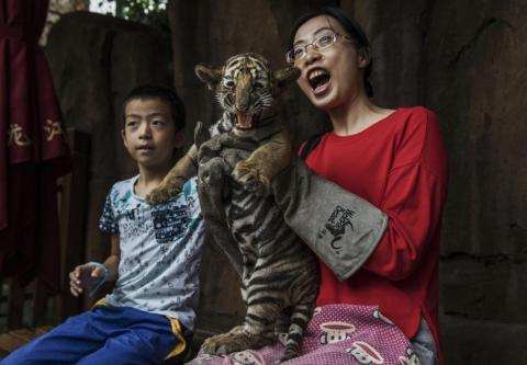 China recently reopened a legal market in endangered tiger and rhino parts