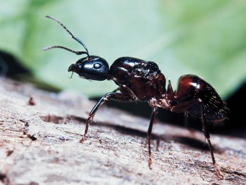 Carpenter ants are the victims of choice for a fungus called Ophiocordyceps unilateralis.