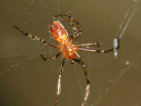 Anelosimus eximius spiders become wasps' unwilling slaves.