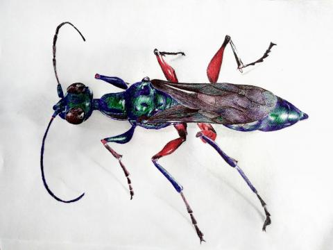 """The emerald cockroach wasp, or jewel wasp, turns cockroaches into functional """"zombies."""""""