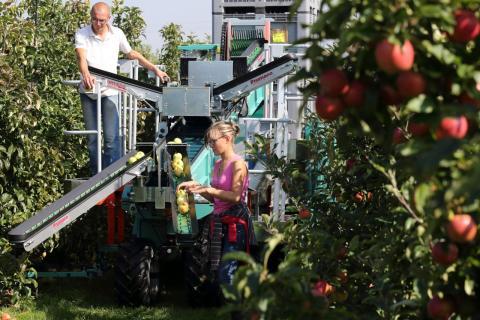 Un grupo de agricultores franceses recoge manzanas para exportar