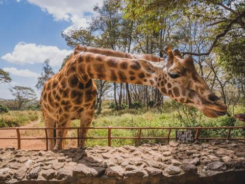 I didn't get a ton of time in Kenya, but what time I did have I spent exploring Nairobi and the surrounding areas. I loved visiting the Giraffe Centre. For $10, I was able to feed giraffes and learn about the center's conservation