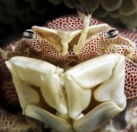 This intimate portrait of a Porcelain crab in the Banda sea off of Indonesia came from photographer Iyad Suleyman.