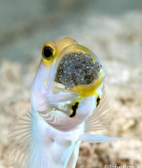 John Roach captured a close-up image of a Yellowhead Jawfish in the Caribbean waters of the Netherlands Antilles.