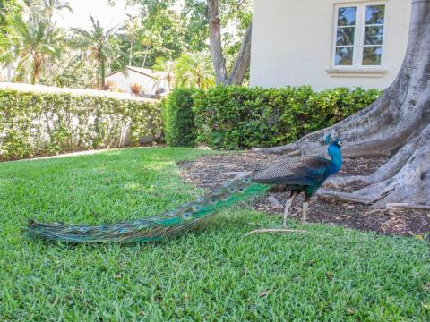 Most impressive were the free-roaming peacocks, whose calls could be heard echoing across the island.